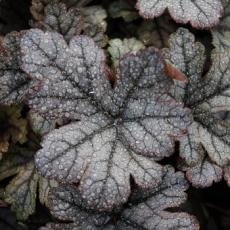 Heucherella 'Gunsmoke'