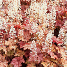 Heucherella 'Honey Rose'