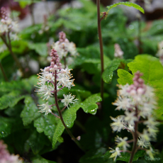 Tiarella 'Pink Brushes'