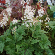 Tiarella 'Running Tiger'