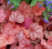 Mixed starter pack x 6 different Heucheras - Suitable for sun & shade mix