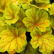 Mixed starter pack x 10 different Heuchera & Heucherella - Suitable for Shade