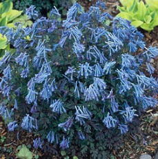 Corydalis flexuosa - 'Blue Dragon'