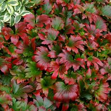 Mukdenia rossii 'Crimson Fans'
