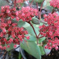 Sedum Hylotelephium telephium 'Red Cauli'