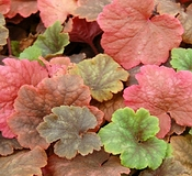 Tellima grandiflora 'Forest Frost'
