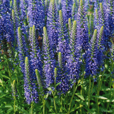 Veronica 'Inspire Deep Blue'