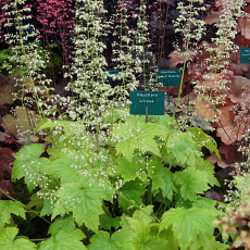 Heuchera 'Chantilly' villosa