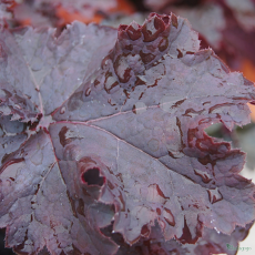 Heuchera 'Dark Storm' (Seasonal Series)