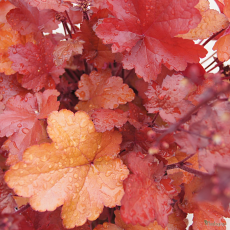 Heuchera 'September Morn'
