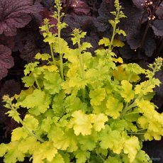 Heuchera 'Winter Joy'