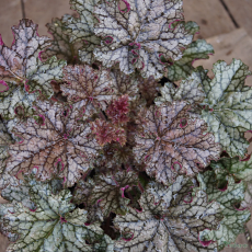Heuchera 'Silver Celebration' TM (Fox Series)