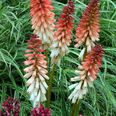 Kniphofia 'Orange Vanilla Popsicle' PBR