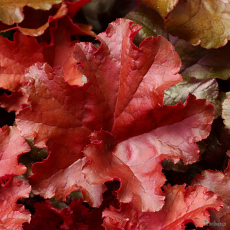 Heuchera 'Red Sea'
