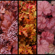 Heuchera 'Peach Crisp', Heuchera 'Zipper', Heuchera 'Pauline' TM (Fox series)