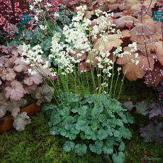 Heuchera 'Madison Bride' TM (Fox Series)