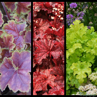 Heuchera 'Miracle', Heuchera 'Cajun Fire', Heuchera 'Lime Ruffles'