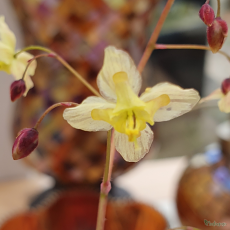 Epimedium pinnatum 'Black Sea'