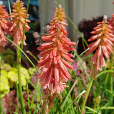 Kniphofia 'Redhot Popsicle' PBR