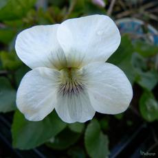 Viola odorata 'Albiflora'