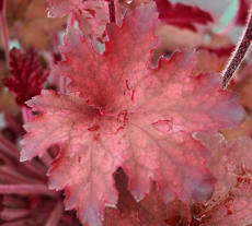 Heuchera 'Burgundy Bill' TM (Fox Series)