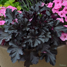Heuchera 'Black Pearl' PBR