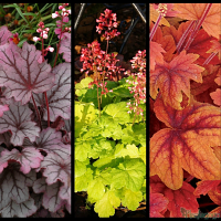 Heuchera 'Sugar Berry', Heuchera 'Sweet Tart', Heucherella 'Sweet Tea'