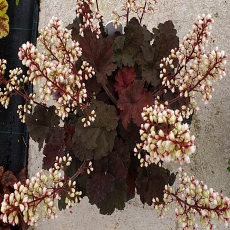 Heuchera 'Alfie' TM (Fox Series)