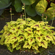 Heucherella 'Catching Fire' PBR