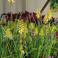 Kniphofia 'Pineapple Popsicle' PBR