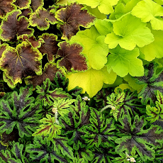Stunning Trio of Heuchera, Heucherella & Tiarella for Shade/Part Shade