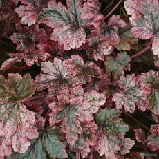 Heucherella 'Berry Fizz'