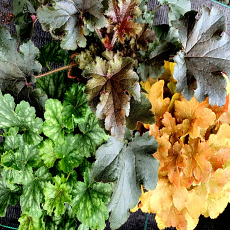 Autumnal Heuchera Trio