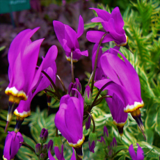 Dodecatheon 'Red Wings'