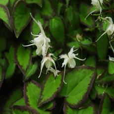 Epimedium grandiflorum 'Bandit'