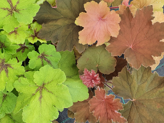 Mega Heuchera & Heucherella Collection Trio - Special Offer