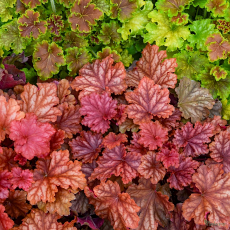 Heuchera 'Peachberry Ice'