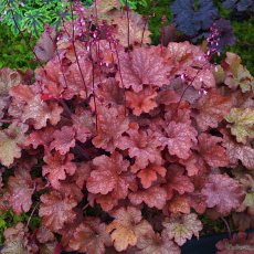 Heuchera 'Cranberry' Indian Summer Series