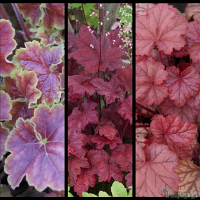 Heuchera 'Miracle', Heuchera 'Autumn Leaves', Heuchera 'Pauline'