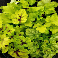 Heuchera & Heucherella The Gold Collection