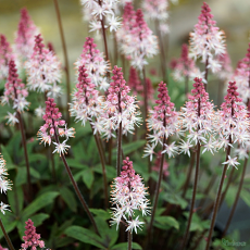 Tiarella 'Raspberry' Sundae' TM (Fox Series)