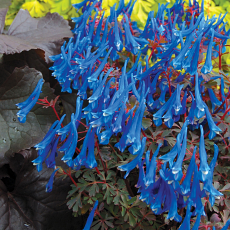 Corydalis 'Porcelain Blue'