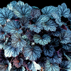 Heuchera 'Autumn Haze'
