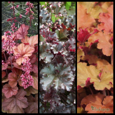 Heuchera Collections 'Apricot',Heuchera 'Dark Secret', Heuchera 'Tangerine Wave'
