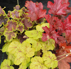 Heuchera & Heucherella Hanging Basket/Container Collection No1