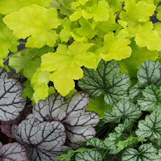 Three of the 'Best' Heuchera Collection