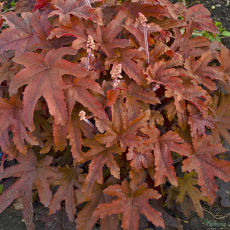 Heucherella 'Red Rover' PBR