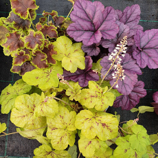 Heuchera & Heucherella Hanging Basket/Container Collection No2
