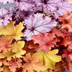 A Trio of Vibrant Heuchera for Sun or Part Shade