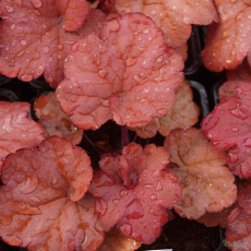 Heuchera 'Coral Berry' Indian Summer series